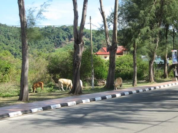 Krávy-u-silnice-v-Thajsku