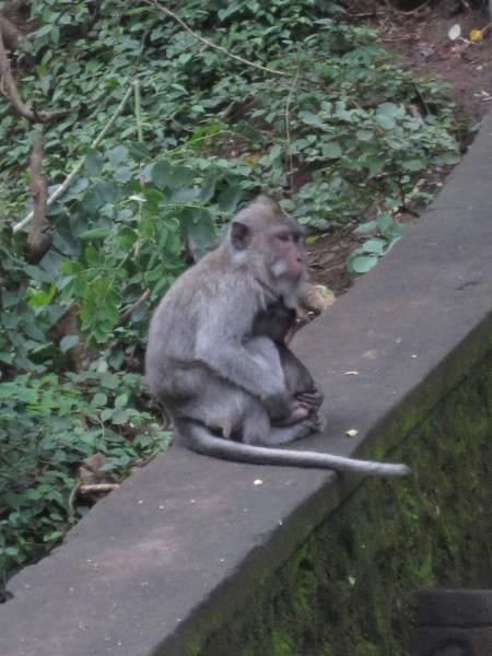 Opice-v-Thajsku
