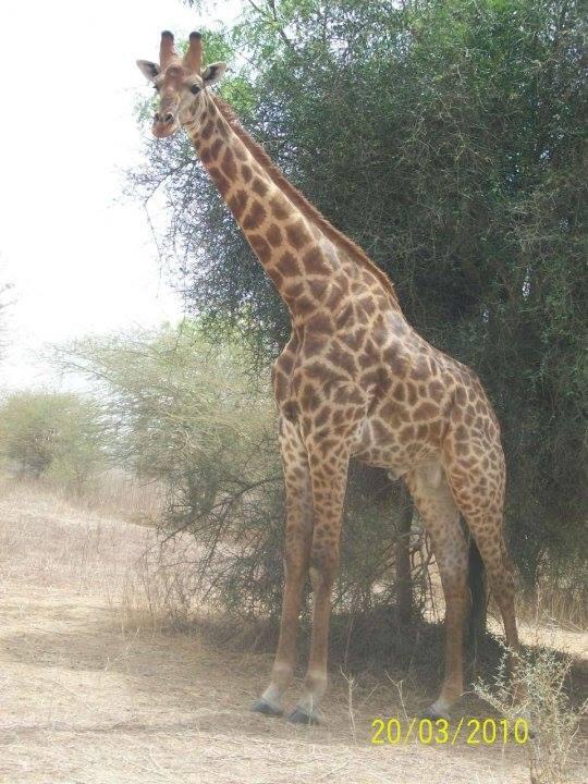 Žirafa v Senegalu